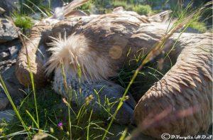 Белоглав мршојадец жртва на труење во Грција (2018 година)