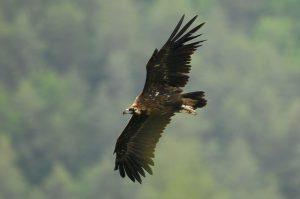 Црн мршојадец во лет (овој вид повеќе не гнезди во Македонија)