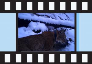 Кликни на сликата за да видиш видео од рисицата Лиса како се храни на плен